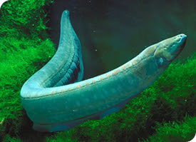Eels were the first forms of TENS pain relief